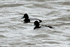 Lesser Scaups (Males) @ Bellefontaine CA lBluegill Pond]