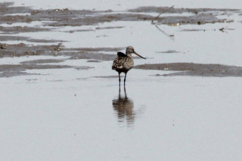 Hudsonian Godwit @ Riverlands MBS [Ellis Bay]
