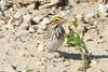 Savannah Sparrow @ Darst Bottom Road