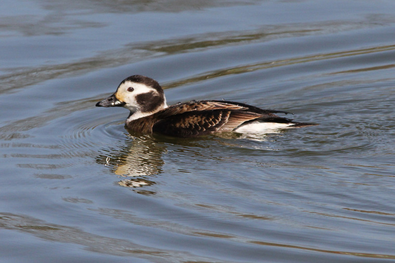 Long-tailed Duck (Male) @ Lion's Lake Park