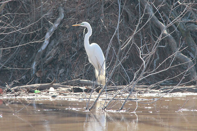 Great Egret @ (Simpson Lake CP [Spillway]