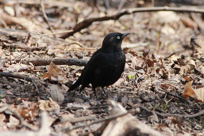 Rusty Blackbird (Male) @ Shaw Nature Reserve [Wild Flower Trail]