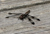 Common Whitetail Dragonfly (Plathemis lydia) @ Trail of Tears SP [visitor center]