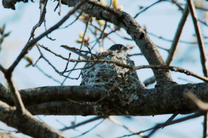 Blue-gray Gnatcatcher (on nest) @ Simpson Lake CP