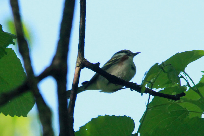 Chestnut-sided Warbler @ Castlewood SP