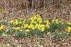 Daffodils @ Shaw Nature Reserve [Quarry Road]