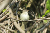 Least Flycatcher @ Castlewood SP