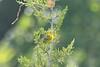 "Prairie Warbler @ ""Mount Doom"""