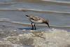 Sanderling @ Riverlands MBS [Ellis Bay]