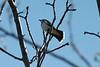 Eastern Kingbird @ Rockwoods Reservation (Prairie)