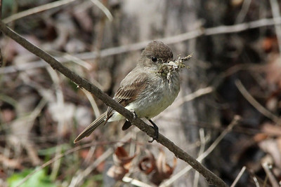 Eastern Phoebe @ Columbia Bottom CA [Slough Boardwalk]
