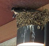 Barn Swallows {on nest] @ Bellefontaine CA [Rest Rooms]