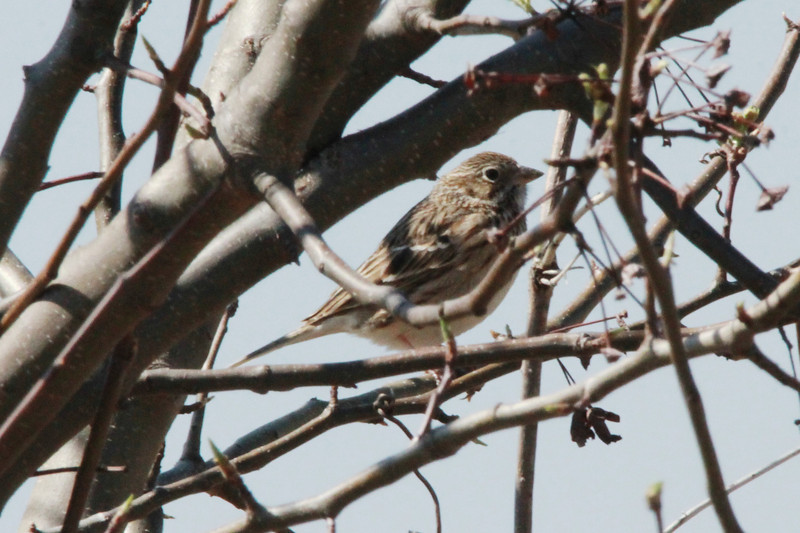 Vesper Sparrow @ Little Creve Coeur Marsh