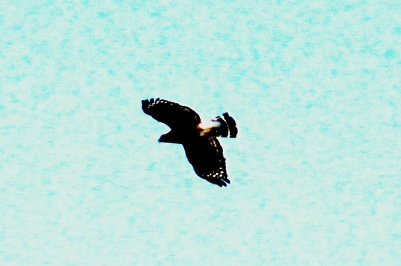Red-shouldered Hawk @ Rockwoods Reservation [Prairie]