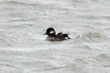 Bufflehead (Female) @ Bellefontaine CA lBluegill Pond]
