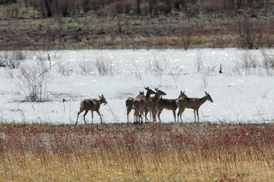 White-tailed Deer @ Riverlands MBS [Heron Pond]
