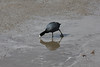 American Coot @ Riverlands MBS [Ellis Bay]