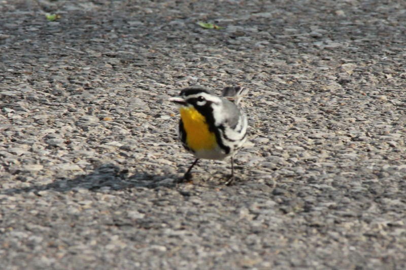 Yellow-throated Warbler @ Castlewood SP