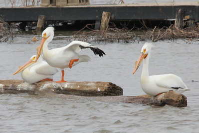 American White Pelicans @ Two River NWR [Swan Island Causeway]