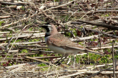 Horned Lark @ Columbia Bottom CA