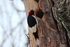 Red-headed Woodpecker @ Shaw Nature Reserve [Wetlands Trail]