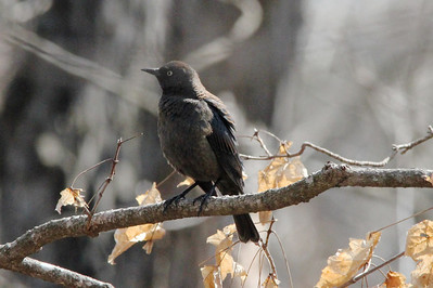 Rusty Blackbird (Female) @ Shaw Nature Reserve [Wild Flower Trail]