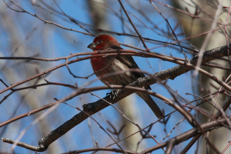 House Finch (Male) @ Simpson Lake CP [by pavilion]