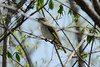 Red-eyed Vireo @ Lost Valley Trail