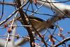 Louisiana Waterthrush @ Shaw Nature Reserve [Trail House Loop Road]
