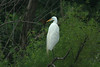 Great Egret @ Dalbow Road in O'Fallon