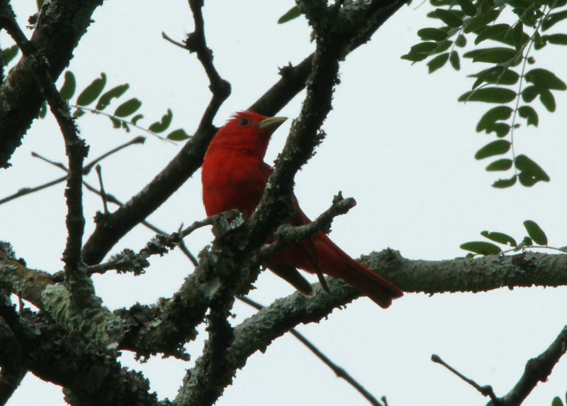 Summer Tanager (Male) @ Shaw Nature Reserve [Bascom House gardens]