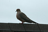 Mourning Dove @ Runge CNC [Visitor Center]