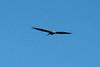 Mississippi Kite @ Columbia Bottom CA