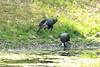 Wild Turkeys @ Lone Elk CP