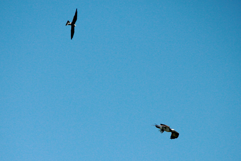 Mississippi Kite & Osprey @ Clarence Cannon NWR