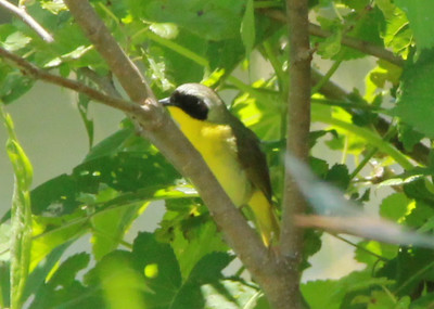 Common Yellowthroat (Male) @ Big Muddy NFWR [Cora Island Unit]