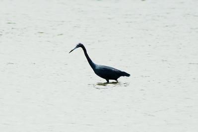 Little Blue Heron @ Horseshoe Lake SP [Causeway]