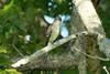 Eastern Wood-Pewee @ Shaw Nature Reserve [Trail House Loop Road]
