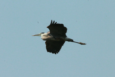 Great Blue Heron @ Bellefontaine CA [Bluegill Pond]