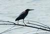 Green Heron @ Bellefontaine CA [Bluegill Pond]