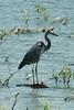 Great Blue Heron @ Riverlands MBS [Ellis Bay]
