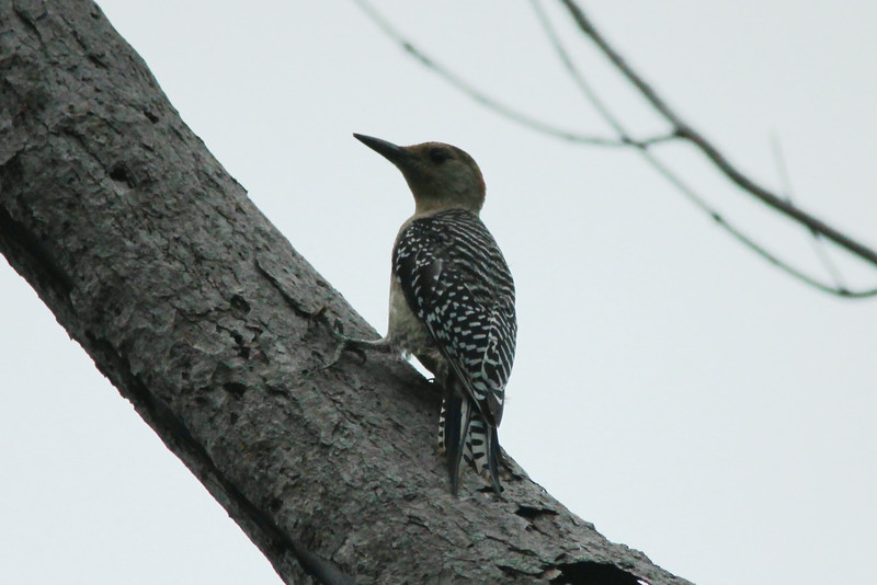 Red-bellied Woodpecker @ Clarence Cannon NWR