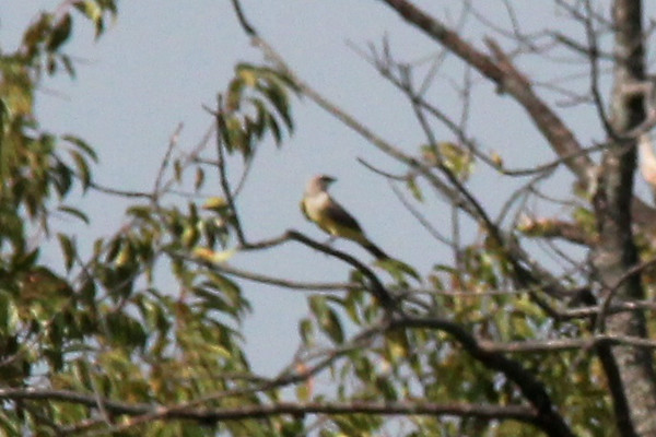 Western Kingbird @ Bellefontaine CA