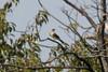 Western Kingbird @ Bellefontaine CA