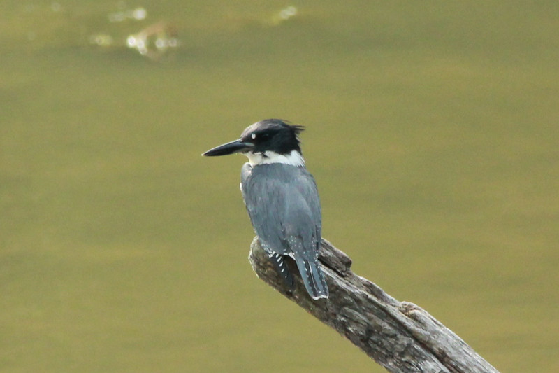 Belted Kingfisher @ Lone Elk CP