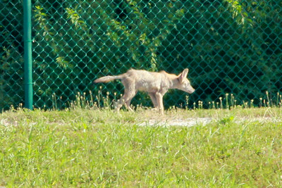 Coyote @ Simpson Lake CP [water treatment ponds]