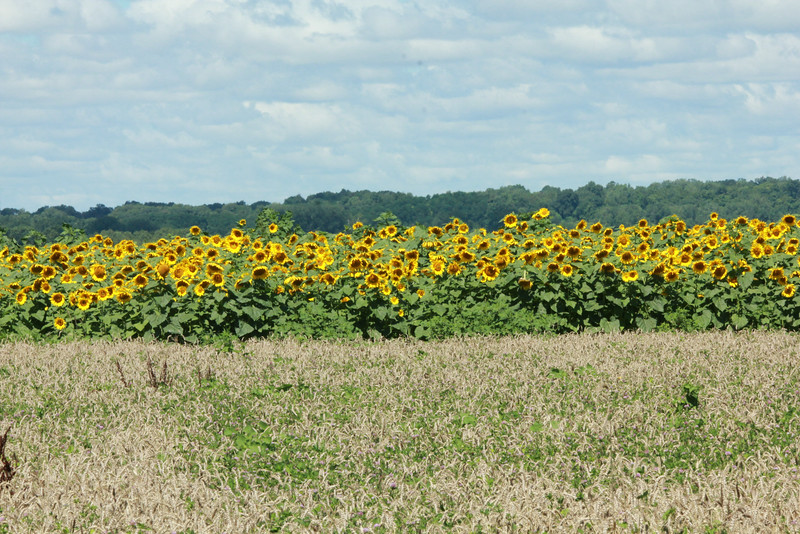 Field of Sunflowers @ Columbia Bottom CA