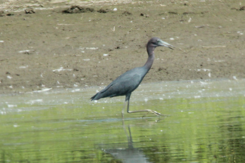 Little Blue Heron @  Riverlands MBS [Confluence Road]