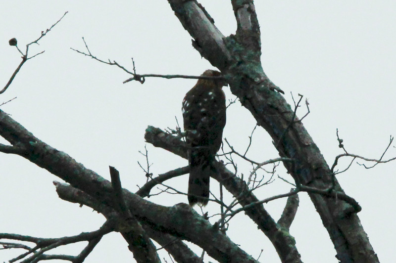 Broad-winged Hawk @ Dalbow Road in O'Fallon