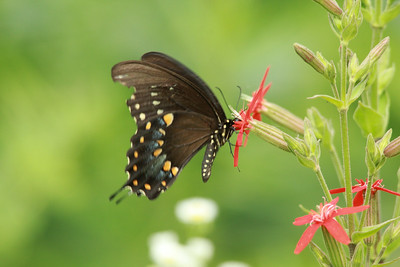 Black Swallowtail Butterfly (Papilio Polyxenes) @ Shaw Nature Reserve [Bascom House gardens]